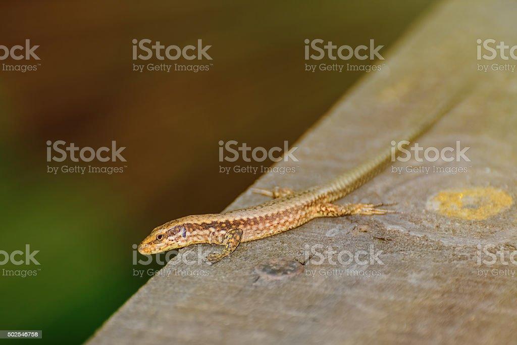 Lizard on The Wooden Plank stock photo