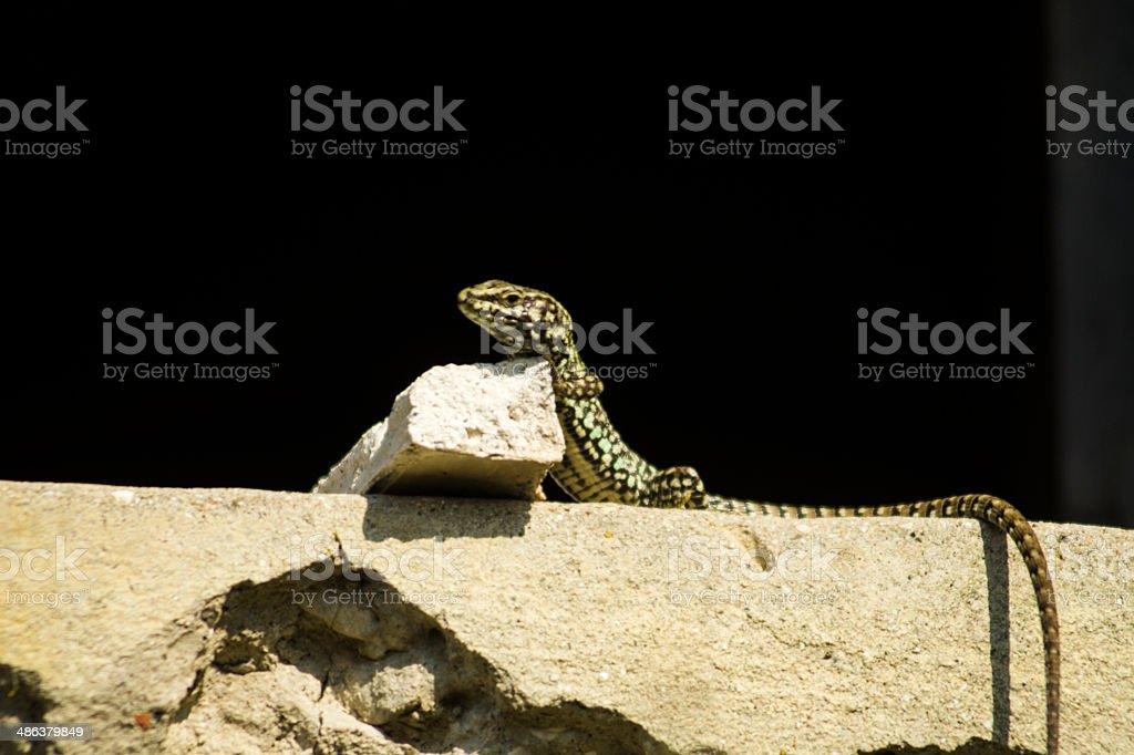 Lizard on Window stock photo
