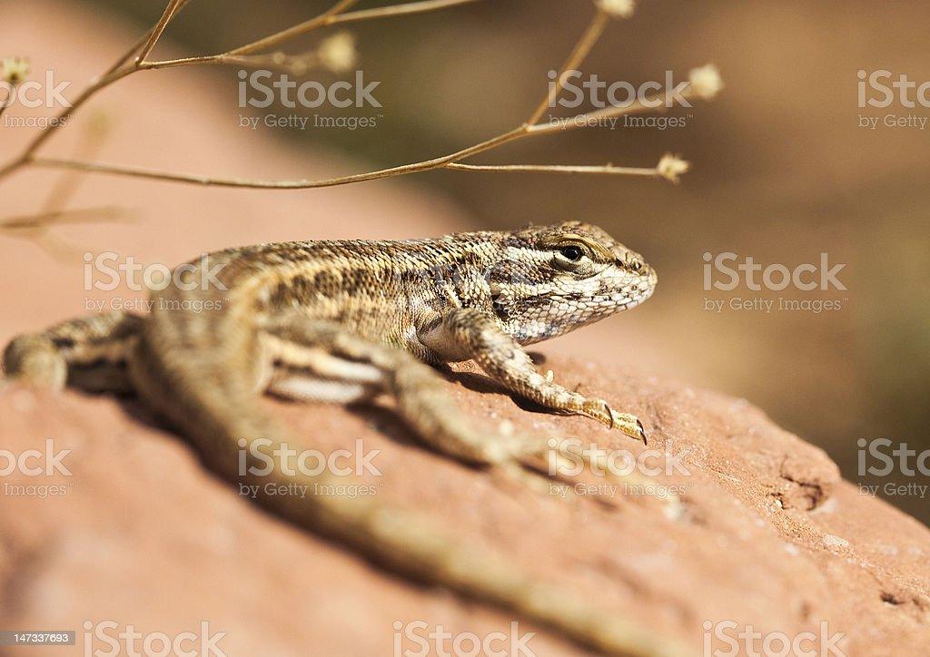 Lizard out in the sun royalty-free stock photo