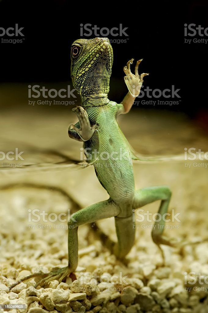 Lizard partially submerged in water crawling against a tank royalty-free stock photo