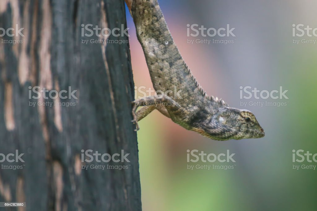 Lizard perching on pole at Thailand stock photo