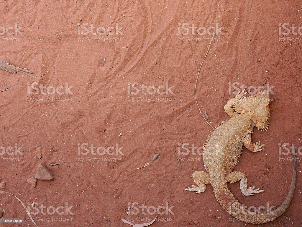Lizard (Bearded Dragon) royalty-free stock photo