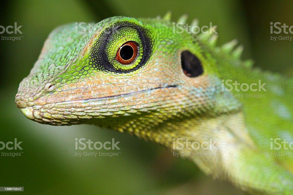 Lizard. royalty-free stock photo