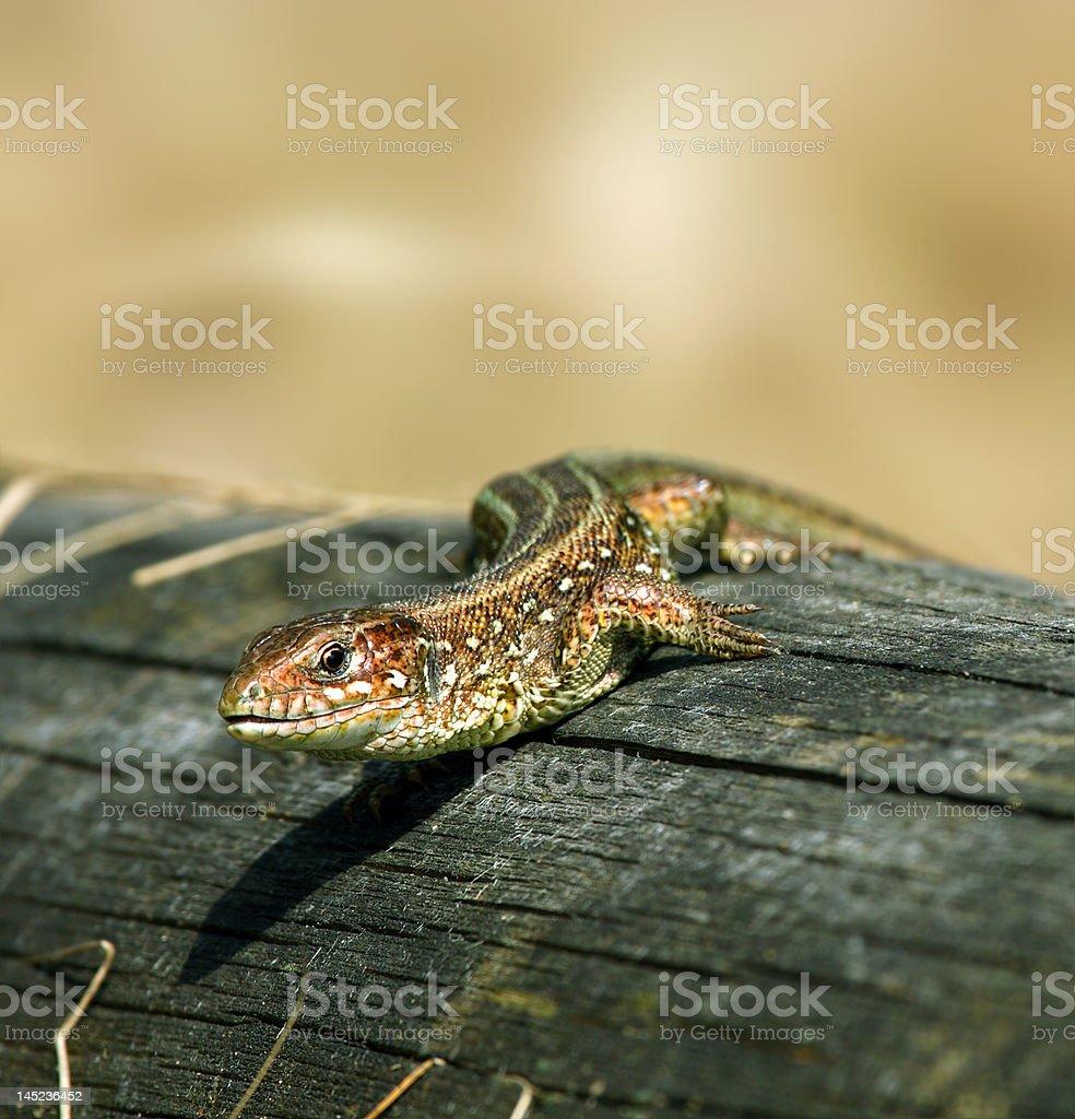 Lizard royalty-free stock photo