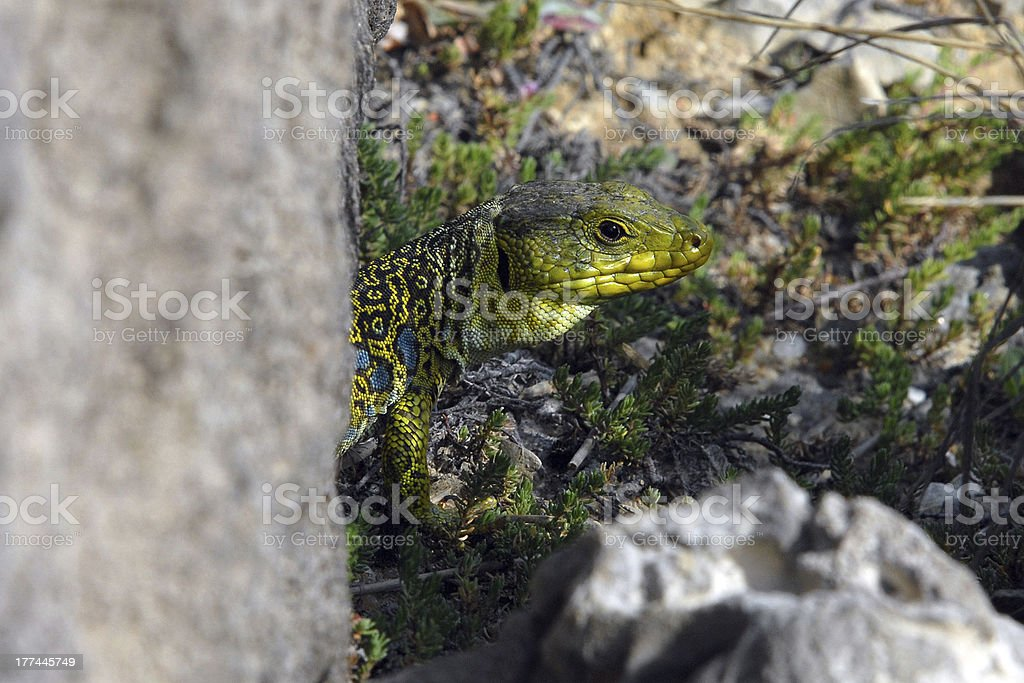 Lizard royalty-free stock photo