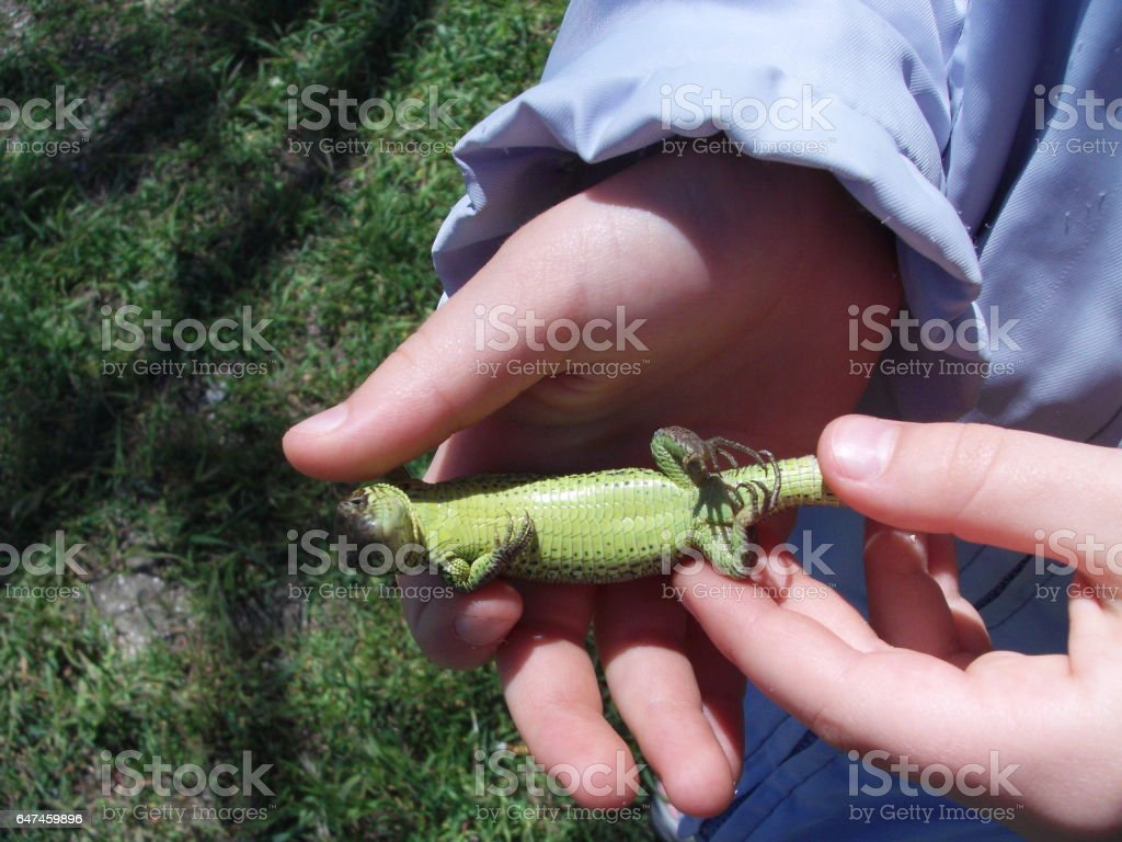 Lizard. stock photo