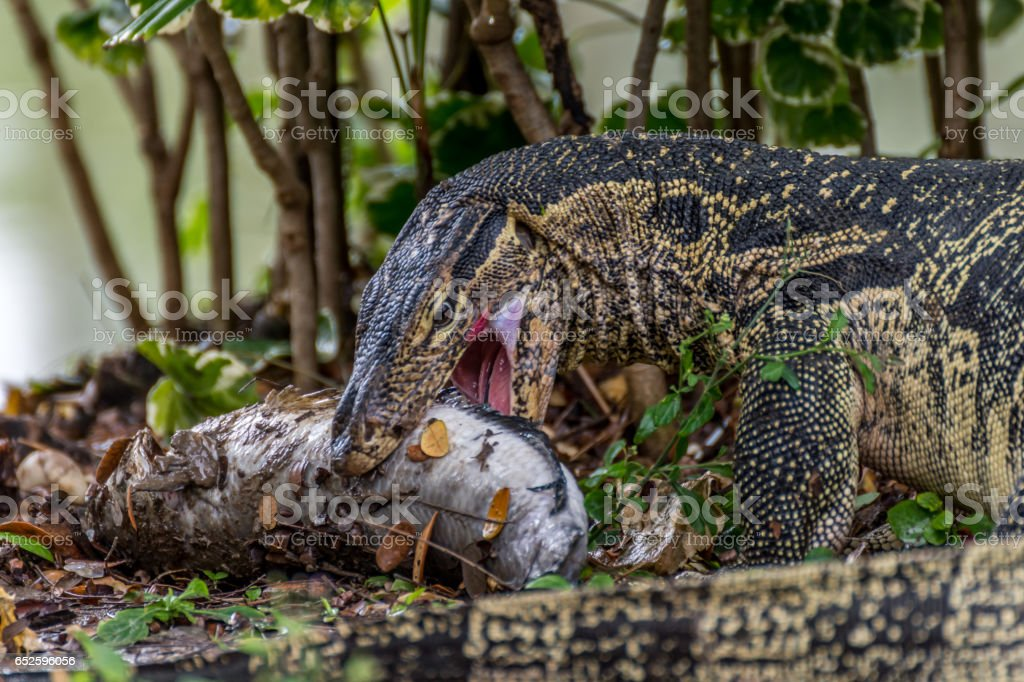 Lizard (Water monitor or Asian water monitor) stock photo