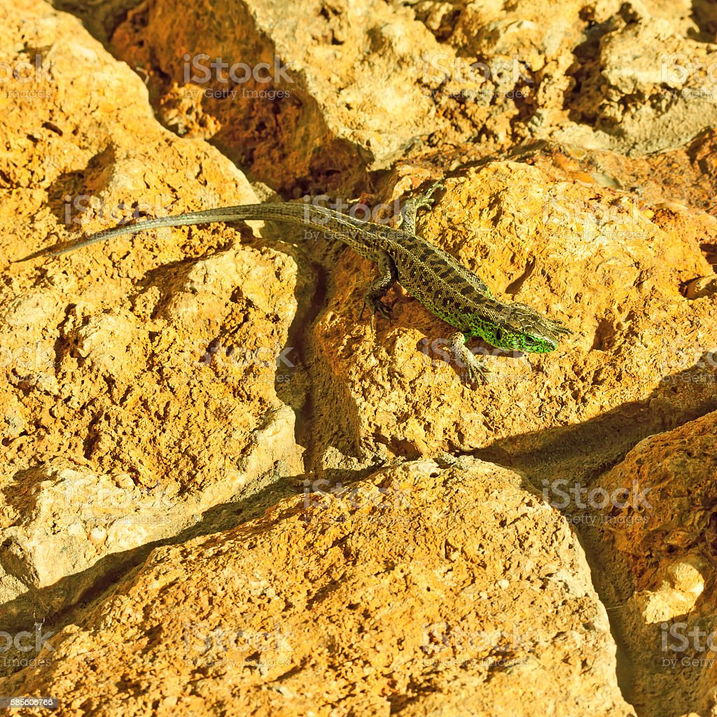 Lizard rests on a stone. stock photo