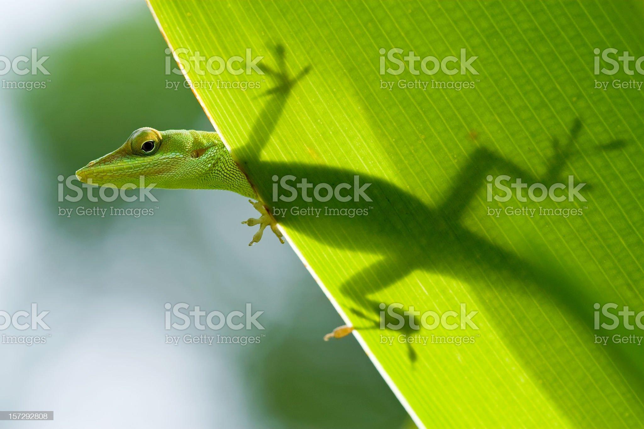 Lizard Silhouette through leaf royalty-free stock photo