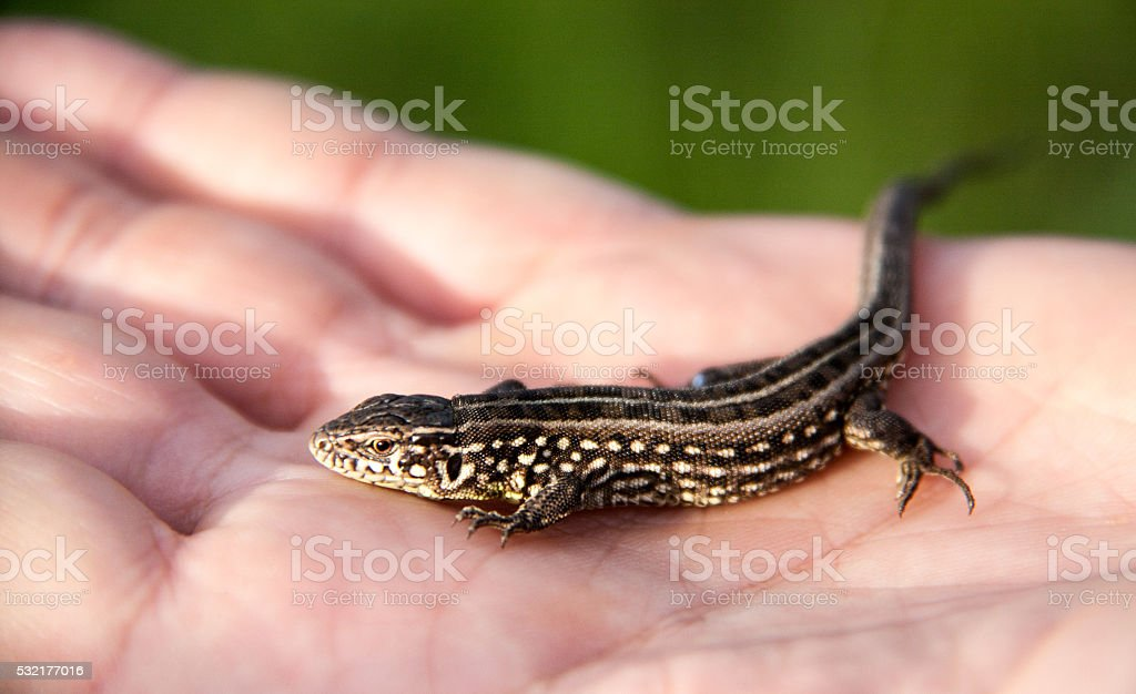 lizard sitting on a palm close up stock photo