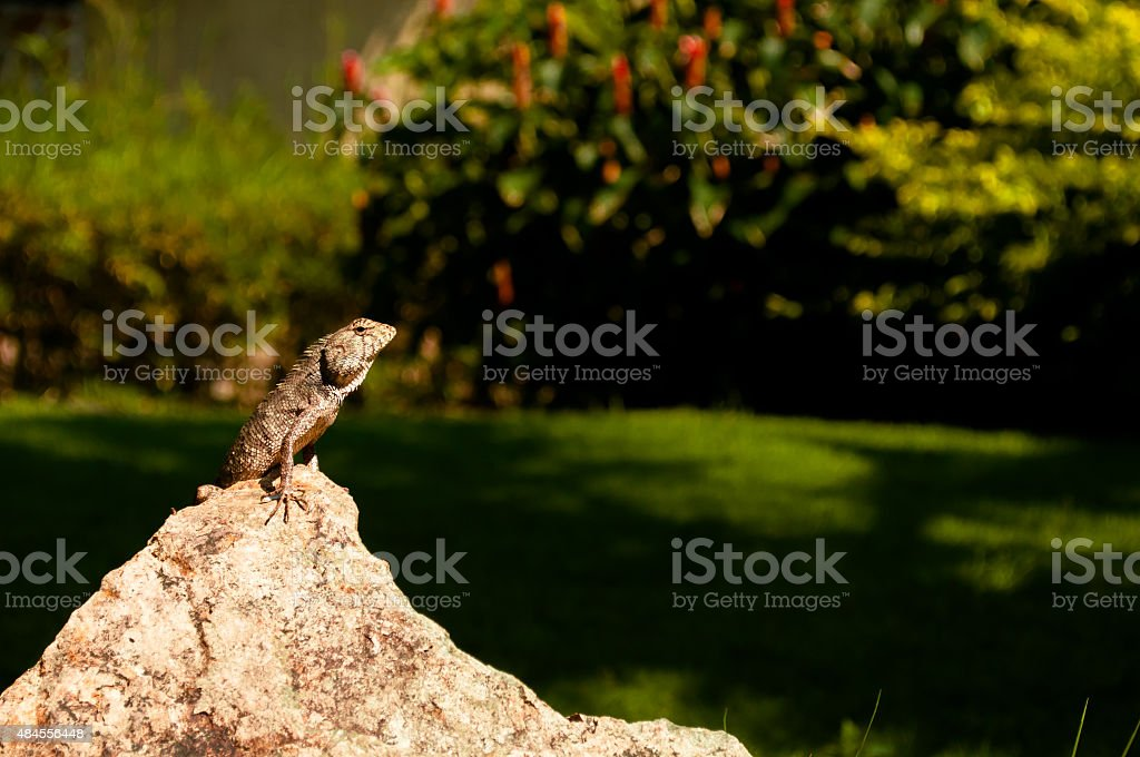 Lizard sitting on a rock basking in the sun stock photo