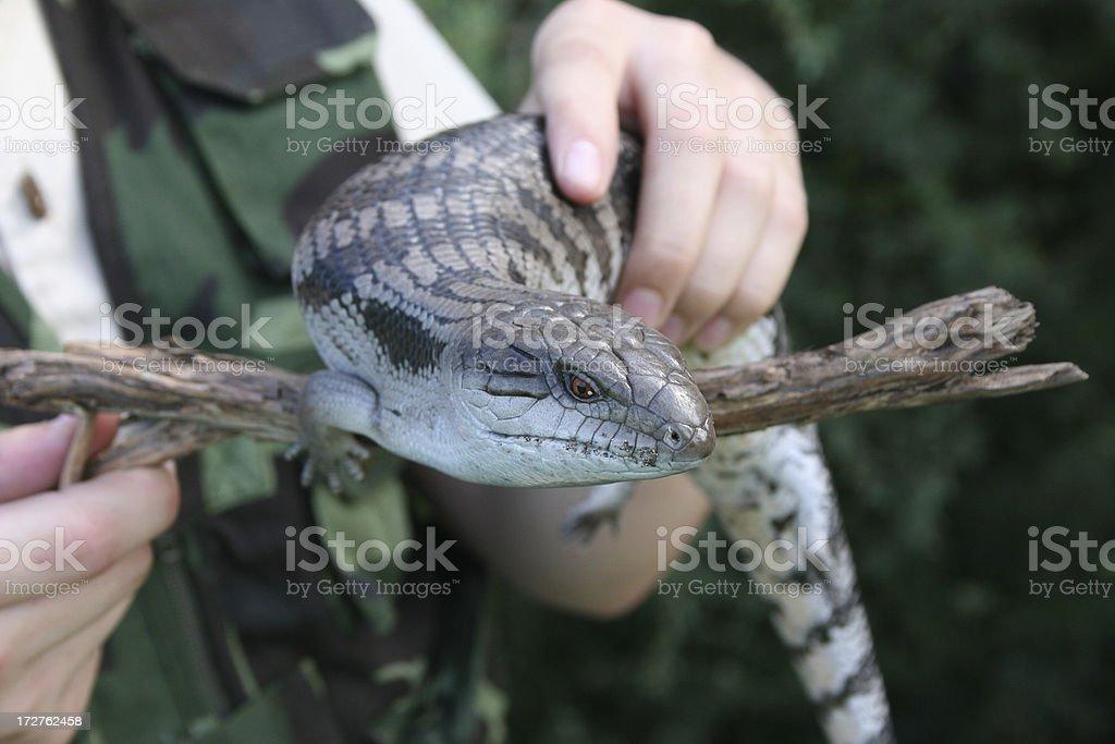 Lizard sitting on a stick royalty-free stock photo