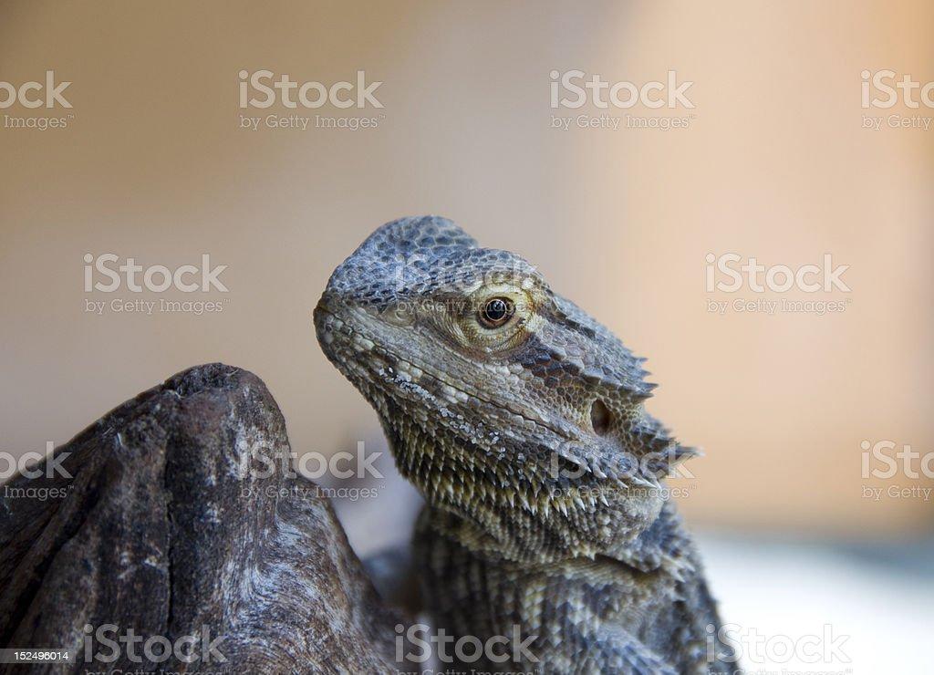 Lizard staring at you royalty-free stock photo