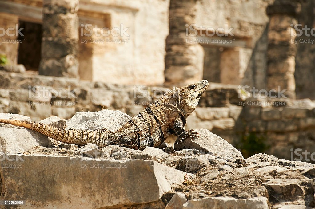 Lizard Sunbathing at the Mayan Ruins of Tulum, Mexico stock photo