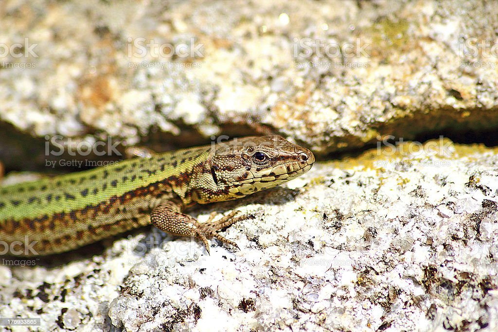 Lizard sunbathing stock photo