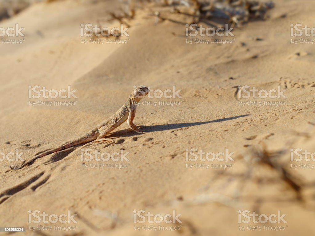Lizard toadhead agama in the sand dunes and long shadow in the evening. stock photo