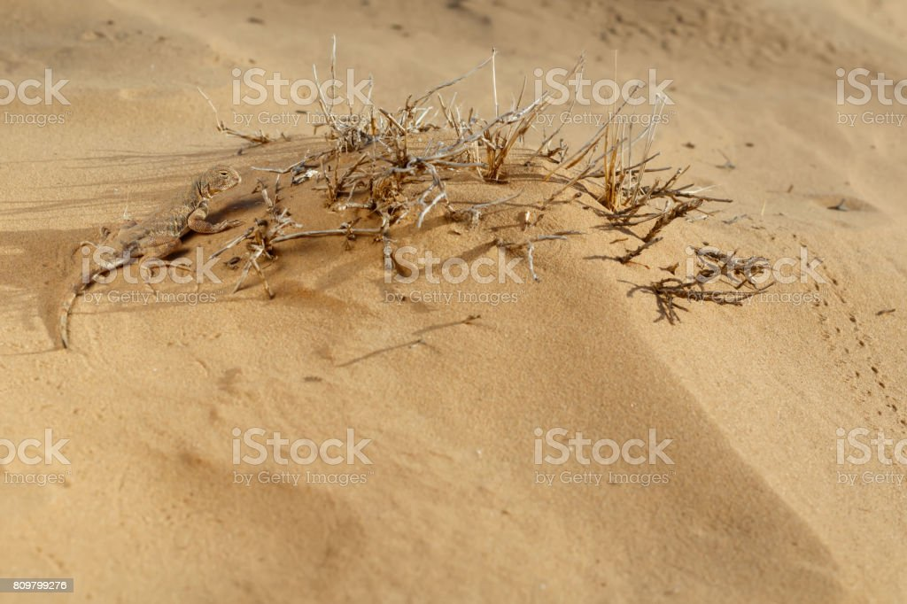 Lizard toadhead agama in the sand dunes in the evening. Selective focus. stock photo