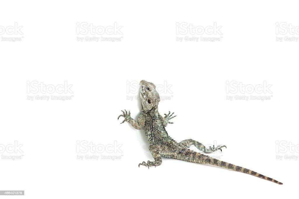 Lizard trying to climb the wall stock photo