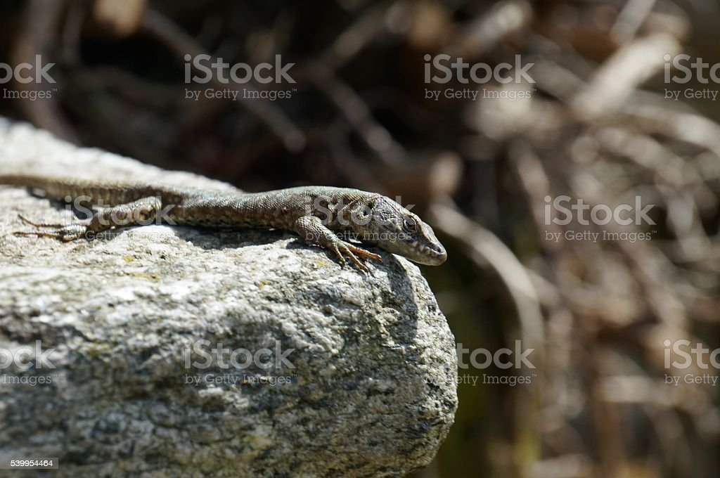 Lizard wisely gazes directly at observer and sits at stone rim. stock photo