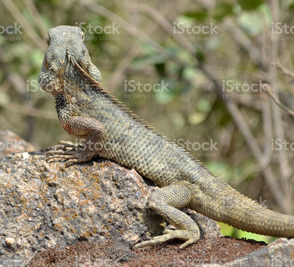 Lizard with thick scales warming up on hot rock royalty-free stock photo