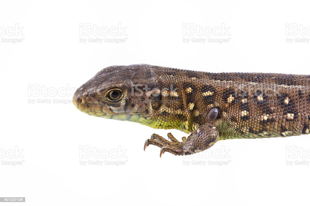 Lizard with tick isolated on a white background stock photo