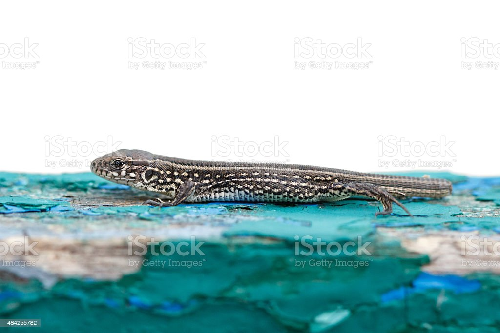 Lizard without tail stock photo