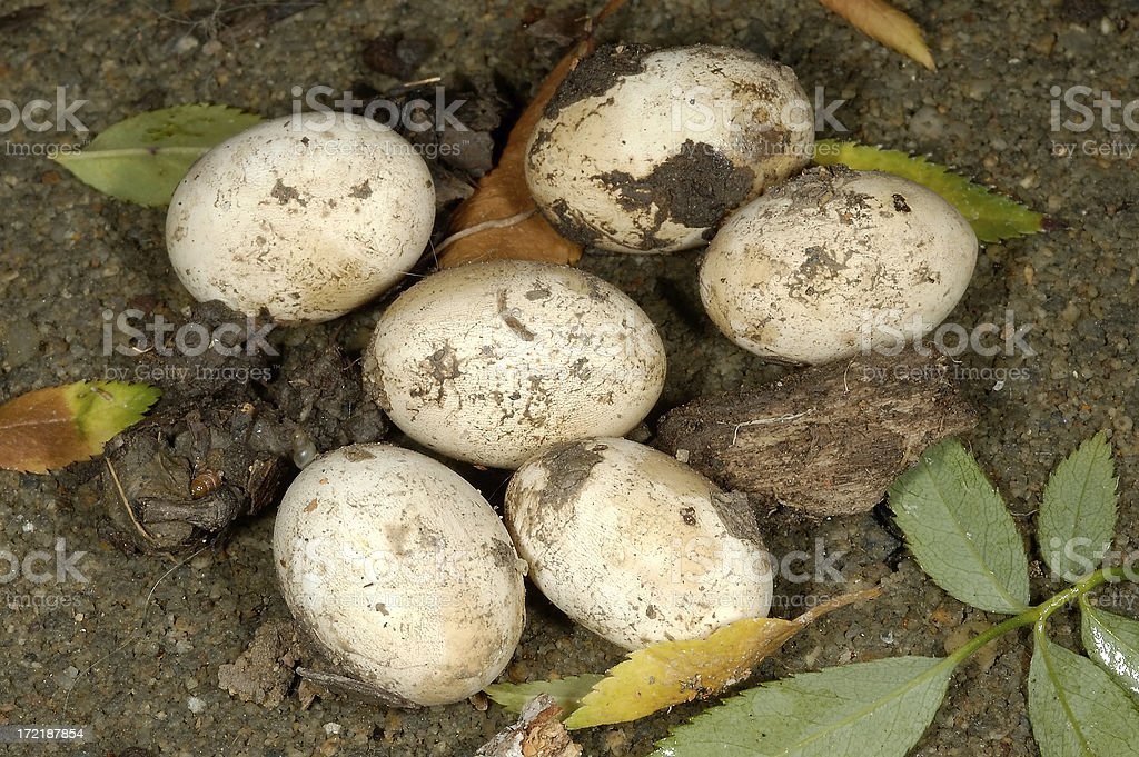 Lizard's Eggs royalty-free stock photo