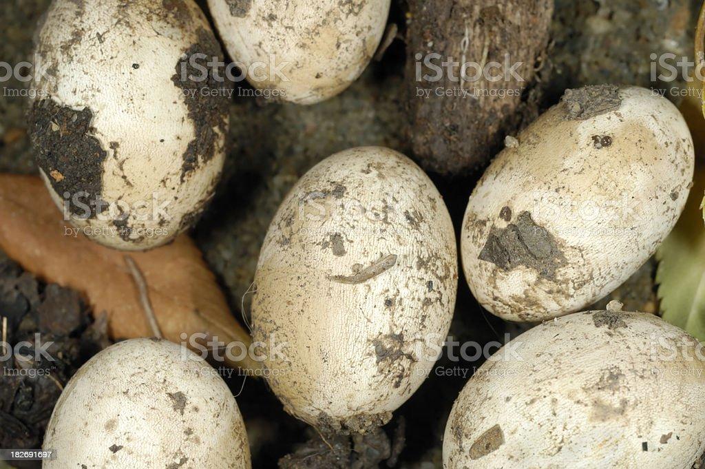 Lizard's Eggs stock photo