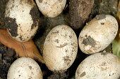 Lizard's Eggs