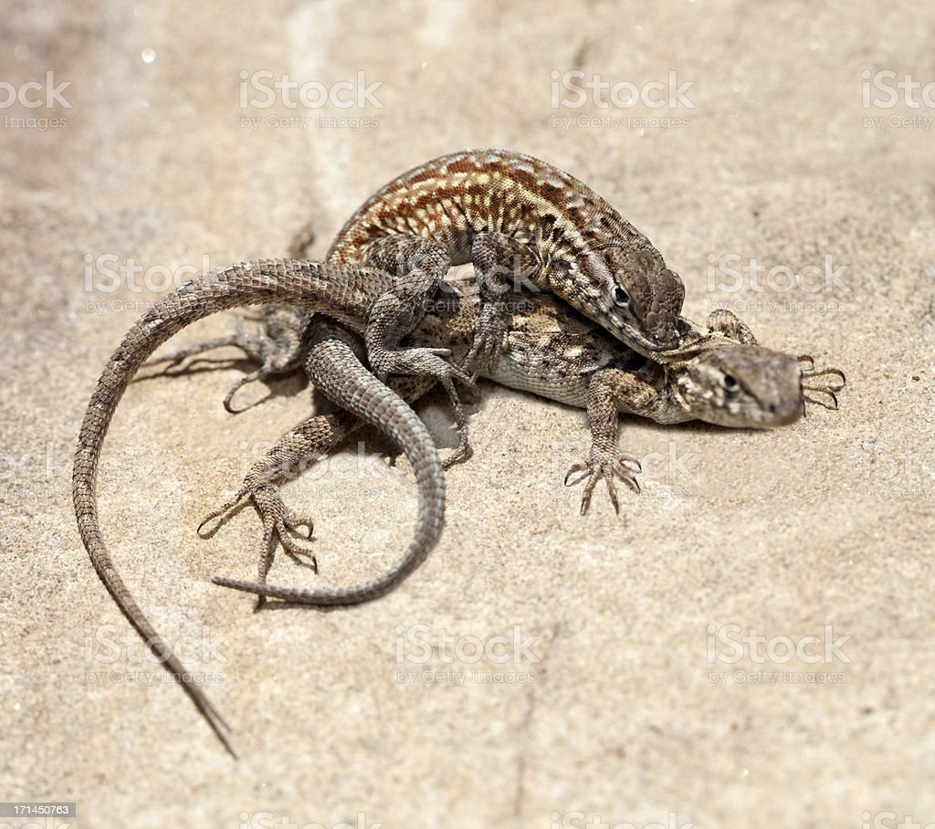 Lizards in Love royalty-free stock photo