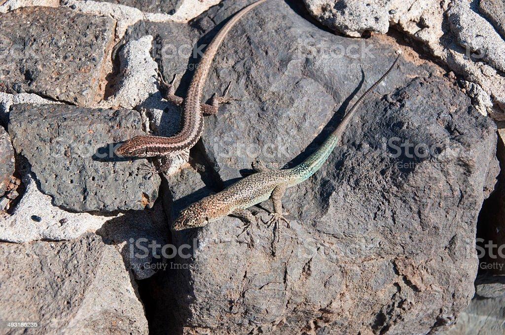 Lizards in Madeira stock photo