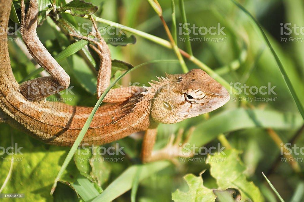 Lizards in Thailand. stock photo