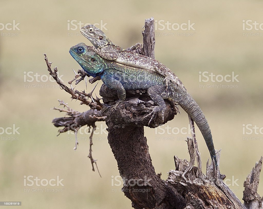 lizards royalty-free stock photo