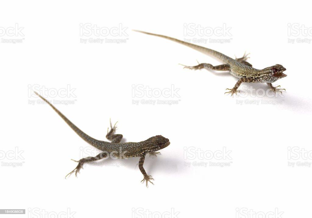Lizards royalty-free stock photo