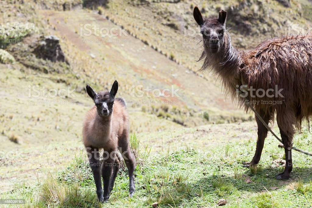 Llama and her calf facing forward stock photo