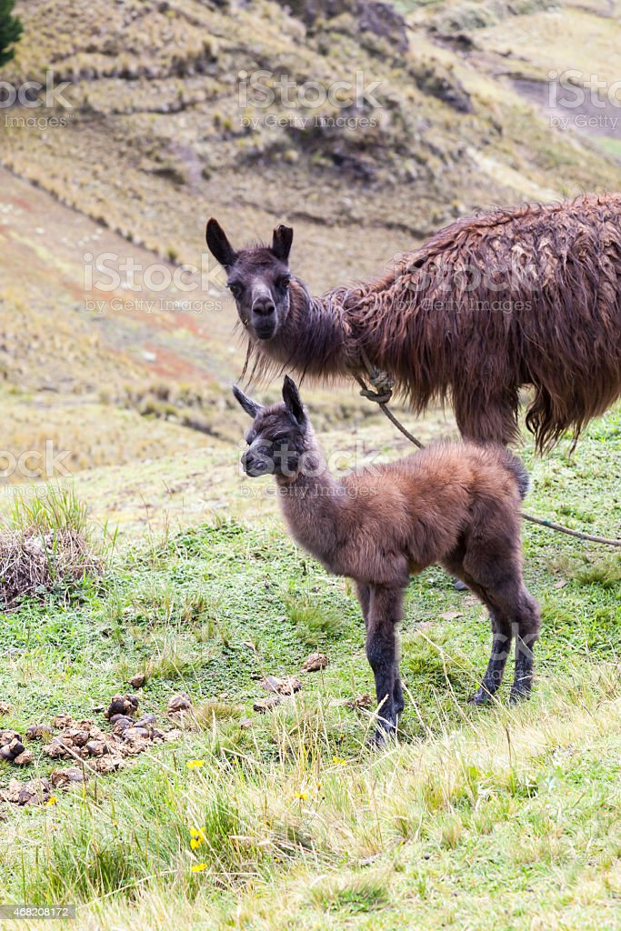Llama and her calf stock photo