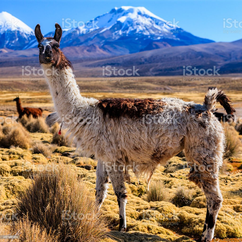 Llama and Parinacota volcano on the bolivian altiplano stock photo