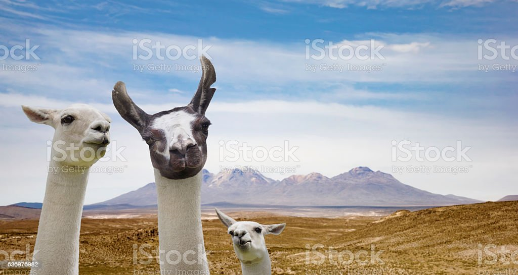 LLama family in Cusco Peru stock photo