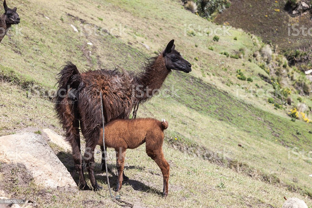Llama feeding her baby stock photo