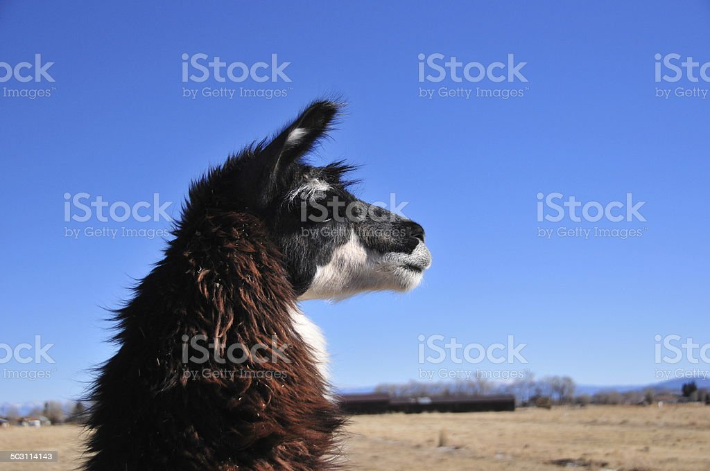 Llama head royalty-free stock photo