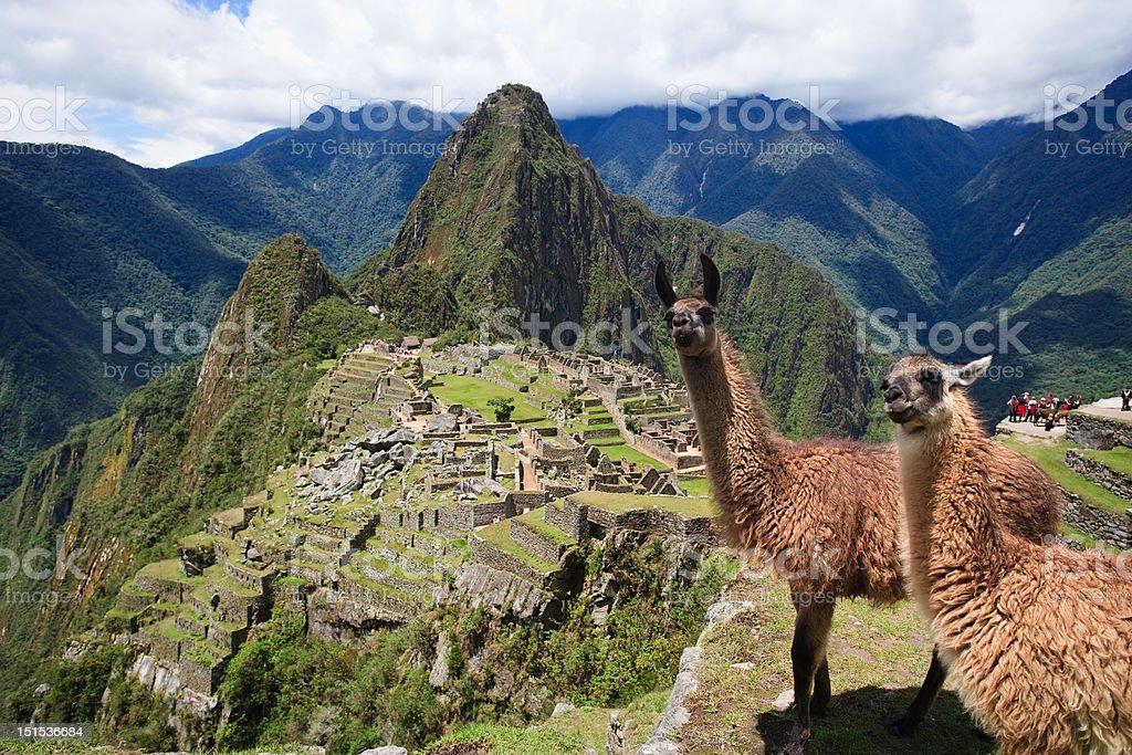 Llama in Machu Picchu stock photo