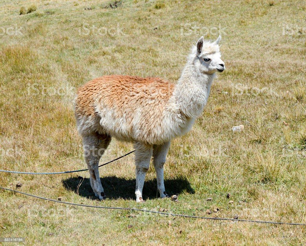 Llama in Peru stock photo