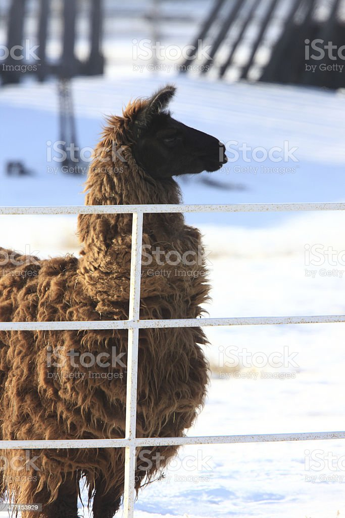 Llama in Snow Winter Canada royalty-free stock photo
