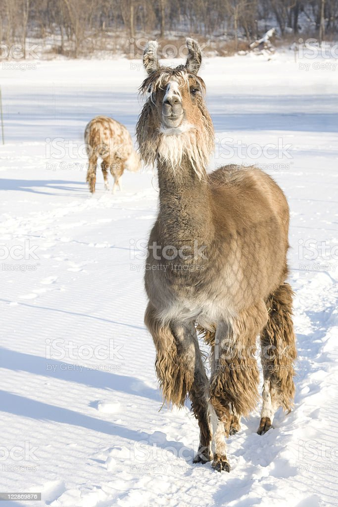 Llama In The Snow royalty-free stock photo