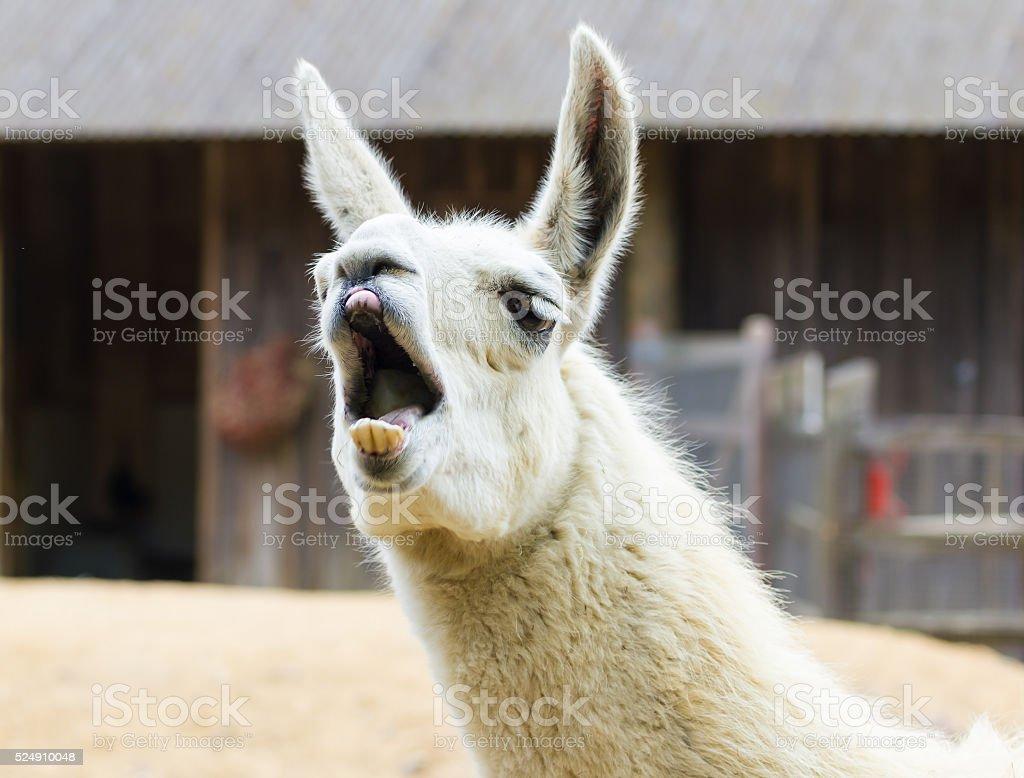 Llama lama smile stock photo