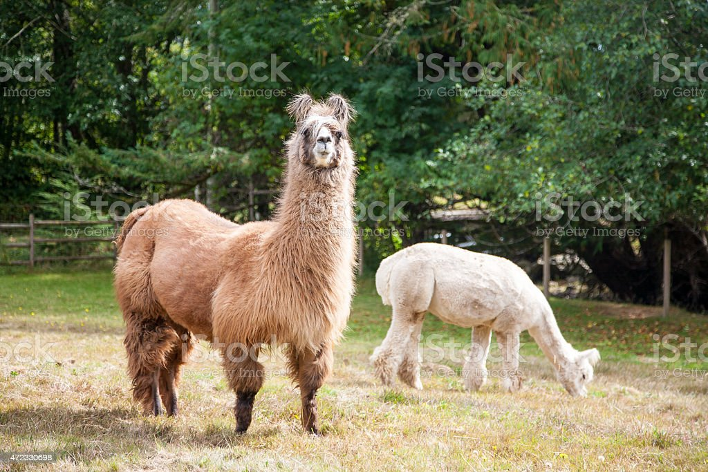 Llama on the meadow stock photo