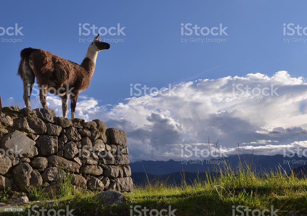 Llama, Peru stock photo