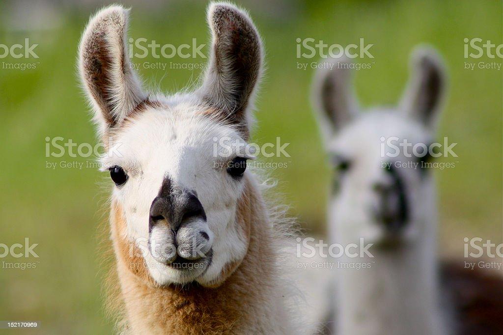 llama stock photo
