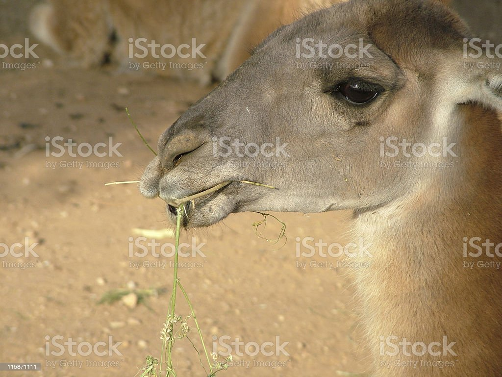 Llama portrait stock photo