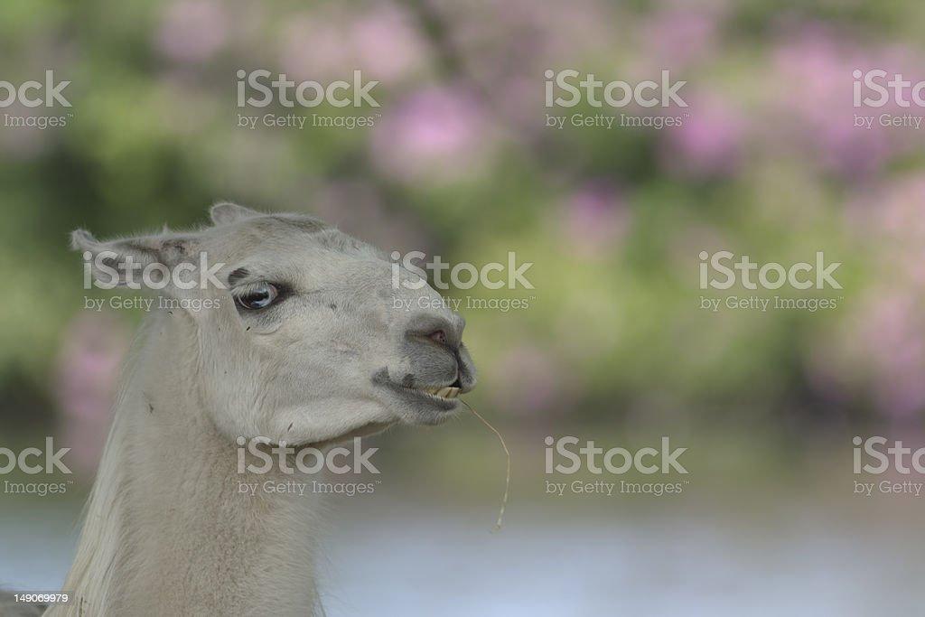 llama posing royalty-free stock photo